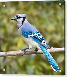 North American Blue Jay Acrylic Print by Jim Hughes