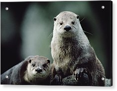 North American River Otter Lontra Acrylic Print by Gerry Ellis