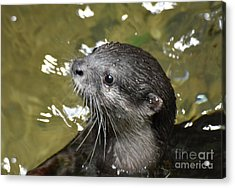 North American River Otter Swimming In A River Acrylic Print