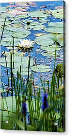North American White Water Lily Acrylic Print
