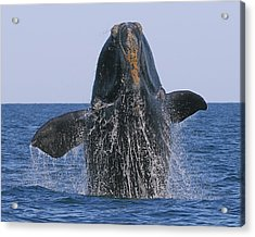 North Atlantic Right Whale Breaching Acrylic Print