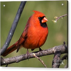North Cardinal Acrylic Print by Ricky L Jones