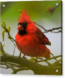 North Carolina Cardinal Acrylic Print