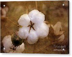 North Carolina Cotton Boll Acrylic Print