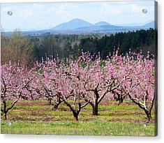 North Georgia Peach Trees In Bloom Acrylic Print by Judy Grindle Shook