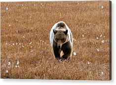 North Slope Grizzly Acrylic Print by Adam Owen