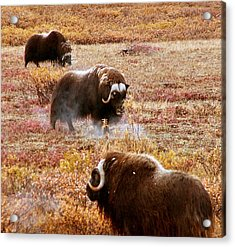 North Slope Musk Ox Acrylic Print by Adam Owen
