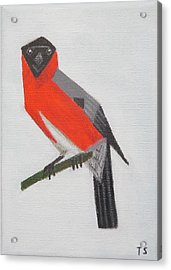Northern Bullfinch Acrylic Print