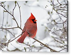 Northern Cardinal - D001540 Acrylic Print by Daniel Dempster