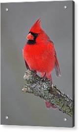 Northern Cardinal 10 Acrylic Print