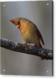 Northern Cardinal 4 Acrylic Print