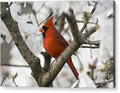 Northern Cardinal And Magnolia 2 - D009893 Acrylic Print by Daniel Dempster