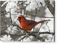 Northern Cardinal And Magnolia 3 - D009896 Acrylic Print by Daniel Dempster