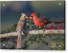 Northern Cardinal Encounter Acrylic Print by Bonnie Barry