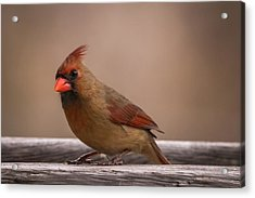 Northern Cardinal Female Winter Acrylic Print by Terry DeLuco