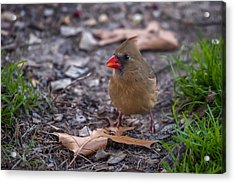 Northern Cardinal Female With Leaves Acrylic Print