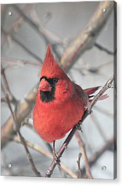 Northern Cardinal In The Apple Tree 2 Acrylic Print by Laurie With