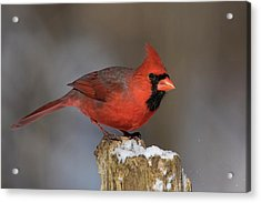 Acrylic Print featuring the photograph Northern Cardinal In Winter by Mircea Costina Photography