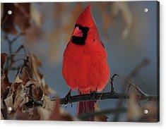 Northern Cardinal Acrylic Print by Mike Martin