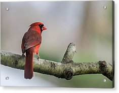 Northern Cardinal On Branch New Jersey Acrylic Print by Terry DeLuco
