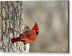 Northern Cardinal On Tree Acrylic Print