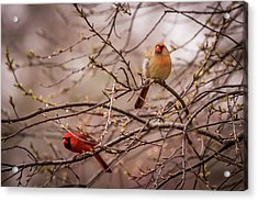 Acrylic Print featuring the photograph Northern Cardinal Pair In Spring by Terry DeLuco