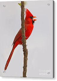 Northern Cardinal Proclaiming Spring Territory Acrylic Print
