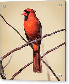 Northern Cardinal Profile Acrylic Print by Ricky L Jones