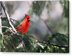 Northern Cardinal Red Acrylic Print