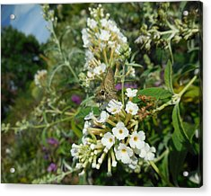 Northern Cloudywing Acrylic Print