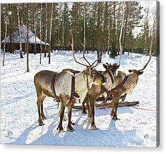 Northern Deers Acrylic Print