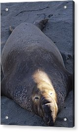 Northern Elephant Seal Acrylic Print by Soli Deo Gloria Wilderness And Wildlife Photography