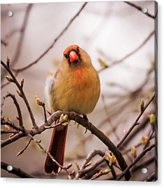 Northern Female Cardinal Pose Acrylic Print by Terry DeLuco