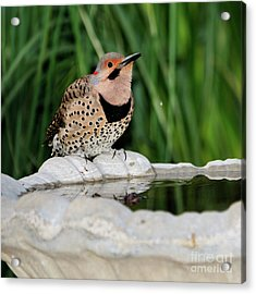 Northern Flicker Drinking Acrylic Print