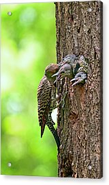 Northern Flicker Family Acrylic Print