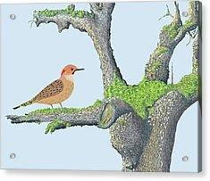 Northern Flicker Acrylic Print