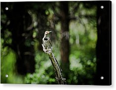 Northern Flicker Acrylic Print