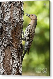 Northern Flicker On The Hunt Acrylic Print