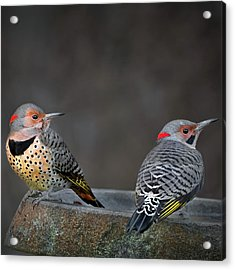 Northern Flickers Square Acrylic Print