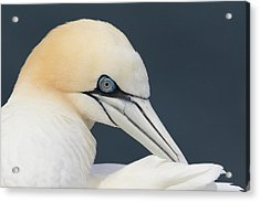 Northern Gannet At Troup Head - Scotland Acrylic Print