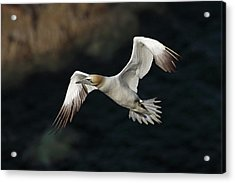 Acrylic Print featuring the photograph Northern Gannet In Flight by Grant Glendinning