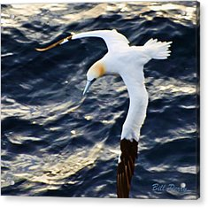 Northern Gannet Looking For A Meal Offshore Acrylic Print by Bill Perry
