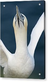 Northern Gannet Stretching Its Wings Acrylic Print