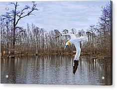 Northern Gannett In The Marsh  Acrylic Print by Bill Perry