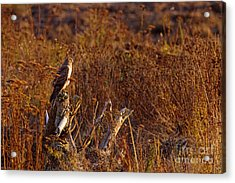 Acrylic Print featuring the photograph Northern Harrier At Sunset by Sharon Talson