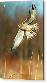 Northern Harrier Banking Acrylic Print