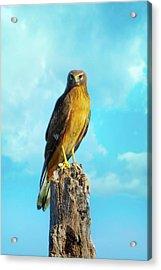 Northern Harrier Hawk Acrylic Print by Mark Andrew Thomas