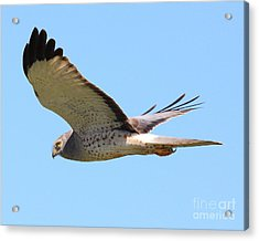 Northern Harrier In Flight Acrylic Print by Wingsdomain Art and Photography