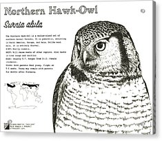 Northern Hawk-owl Infographic Poster Acrylic Print