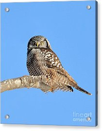 Acrylic Print featuring the photograph Northern Hawk-owl On Limb by Debbie Stahre